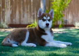 Siberian Husky Dog Breed Info and Characteristics