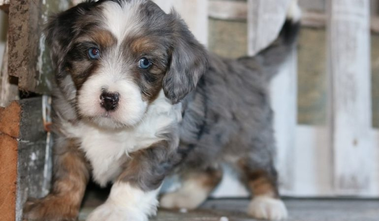 Tiny Bernedoodle – The Small-Sized Energetic Lad