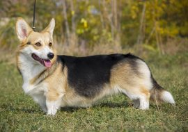 Welsh Corgi Dog Breed Info – All about Pembroke and Cardigan
